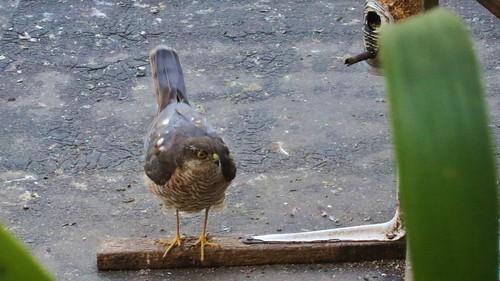 Sparrowhawk, 08082019, 01 f
