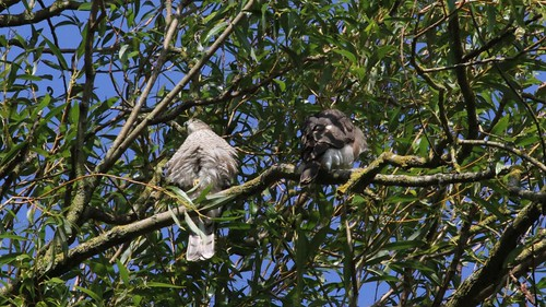 Sparrowhawk-female, & Juvenile, 11082019, 02 f
