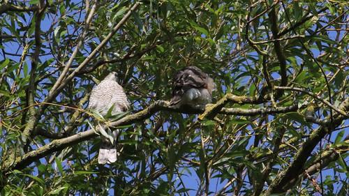 Sparrowhawk, & Juvenile, 11082019, 01 f