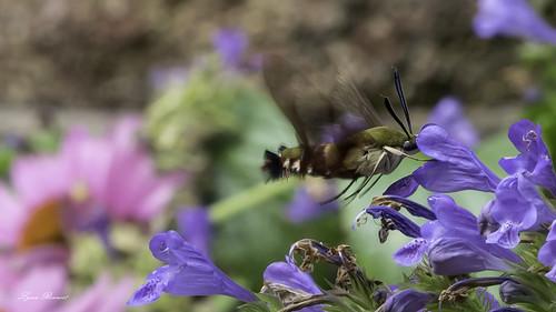 Hummingbird Moth-08060