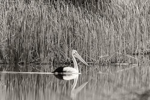 gentle giant on lagoon creek