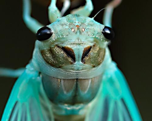 Cicada brand new skin