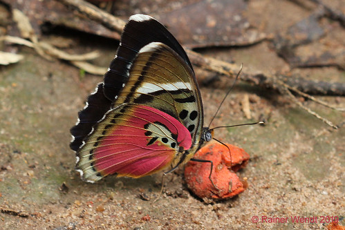 IMG_4881 Euphaedra xypete  ♀ ?