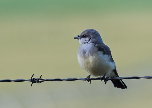 Young Western Kingbirds
