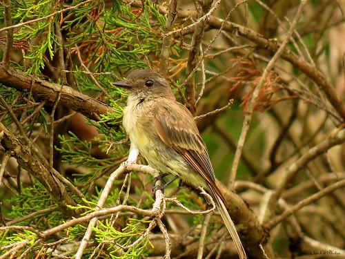 Sparrow in a cedar tree.