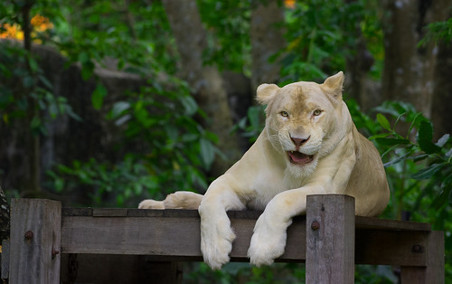 White female lion is smiling on the timber with forest background.