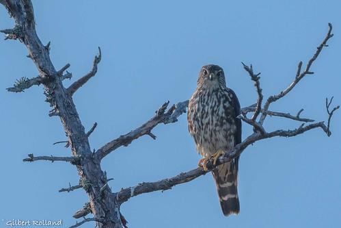 Faucon émerillon - Merlin - Falco Columbarius
