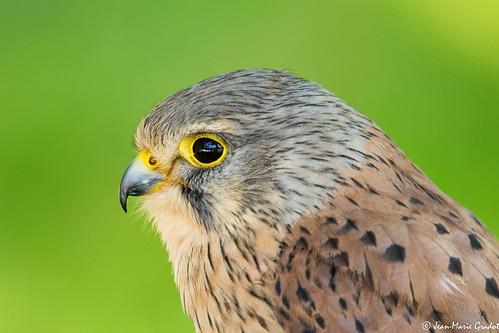 Falco tinnunculus (Parque de la naturaleza de Cabàrceno, Cantabria)