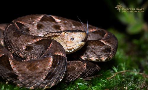 _O6A9179 Fer-de-lance ©Dancing Snake Nature Photography