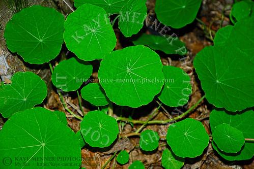 Bright Edible Nasturtium Leaves by Kaye Menner