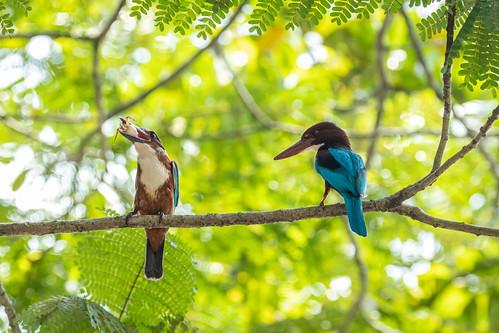 Halcyon smyrnensis (White-throated Kingfisher) - Halcyonidae - Kandy Lake, Kandy, Central Province, Sri Lanka