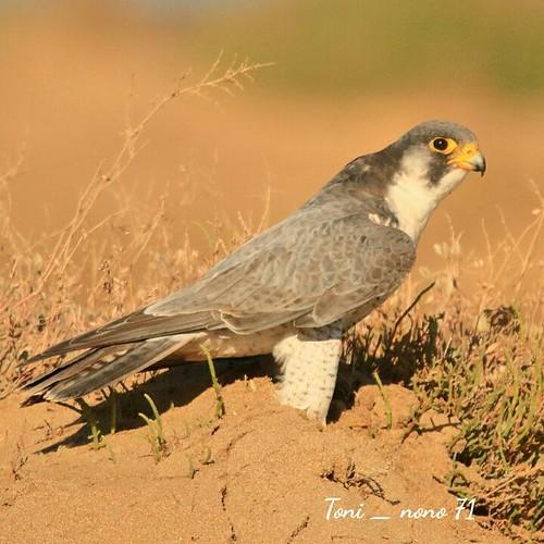 Halcón Peregrino  Falco. Pelegrinus  Falco Pelegrinus - Pelegrine Falcon