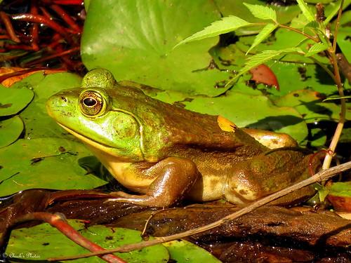Sloan's Pond Frog.