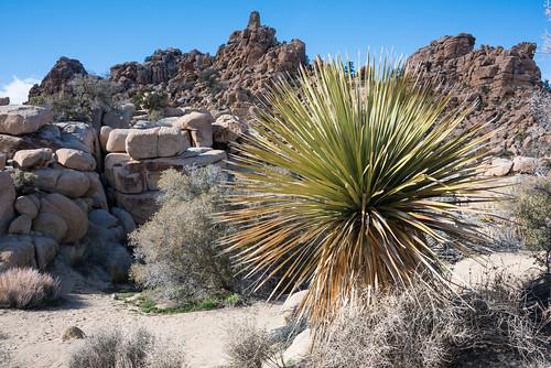 Yucca in Hidden Valley