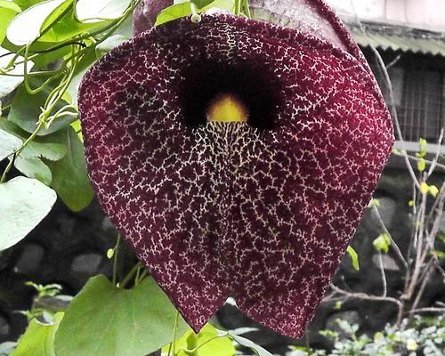 Aristolochia littoralis flower_Calico flower_ABGS_29-07-2019 (3)