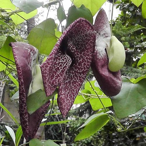 Aristolochia littoralis flower_Calico flower_ABGS_29-07-2019 (6)