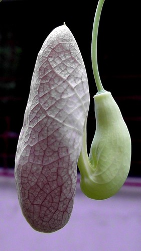 Aristolochia littoralis flower bud _Calico flower_ABGS_23-07-2019_3