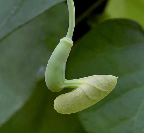 Aristolochia littoralis flower bud initial stage__Calico flower_ABGS_23-07-2019 1
