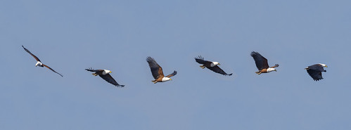 African Fish Eagle pan2 e1 DF LM small
