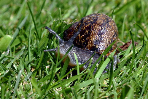Cornu aspersum (Common garden snail)  -  (Selected by GETTY IMAGES)