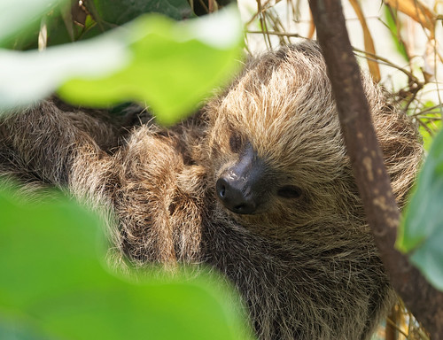 Linne's two-toed sloth (Choloepus didactylus) He /She was fast asleep.