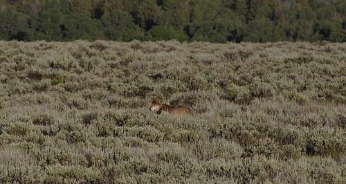 Wolf Hunting Elk