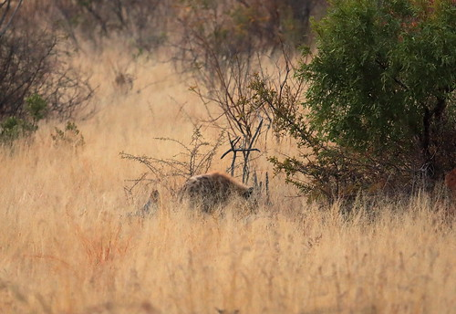 The only one Spotted Hyena. Pilanesberg Game Reserve. South Africa. Aug/2019