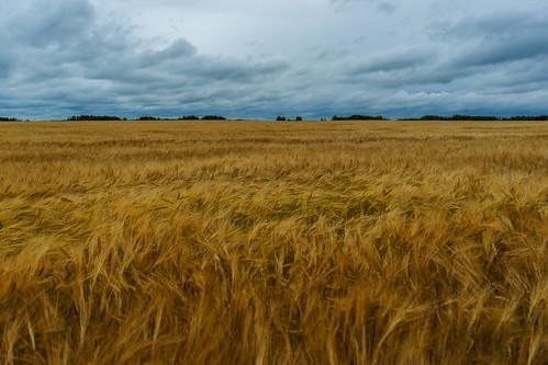 Central Alberta Barley Field