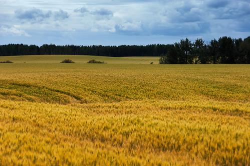 Fawcett Wheatfield Landscape