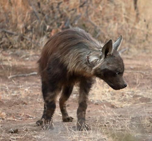 Brown Hyena. Pilanesberg Game Reserve. South Africa. Aug/2019