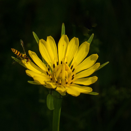 Yellow Goat's Beard with Bee2