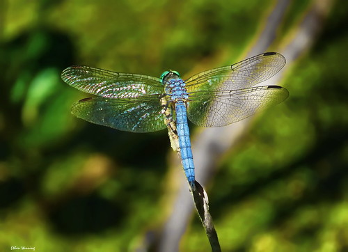 Wings of the Dragonfly 1251