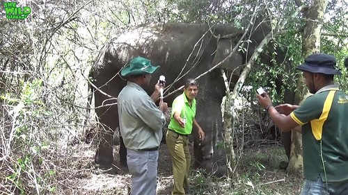 Humungous elephant targeted by trophy hunters saved by the wildlife officers