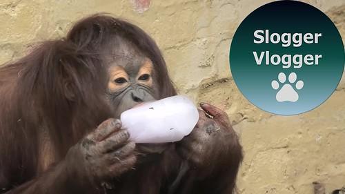 Orangutan Love Their Ice Treat
