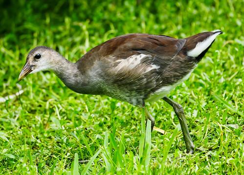 Juvenile Common Gallinule (Gallinula galeata)
