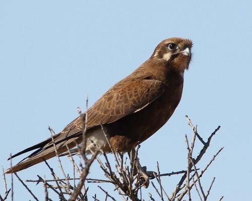 Brown Falcon near Carnarvon