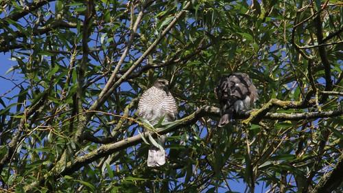 Sparrowhawk-female, &  Juvenile, 11082019, 04 f