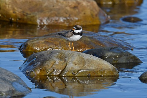 the other plover