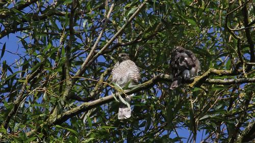 Sparrowhawk-female, &  Juvenile, 11082019, 06 f