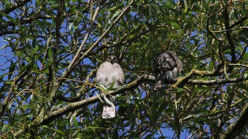 Sparrowhawk-female, &  Juvenile, 11082019, 05 f