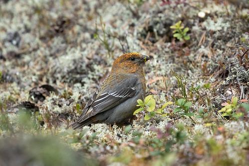 Young male Pine Grosbeak at Kjerringneset S24A5074
