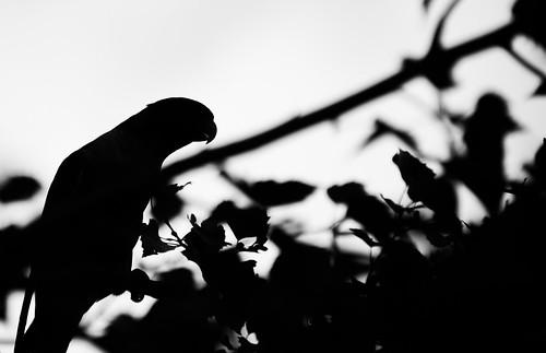 Monochrome Parrot