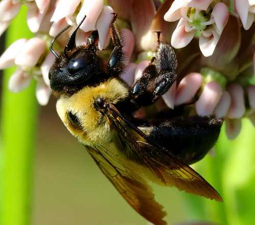 Carpenter Bee2