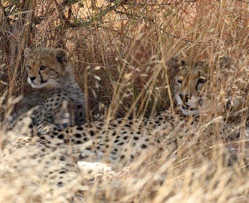Cheetah/Guepardo. Pilanesberg Game Reserve. South Africa. Aug/2019