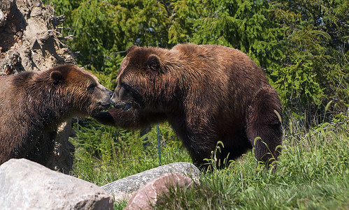 Columbus Zoo 08-11-2012 - Grizzly Bear 13