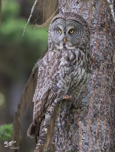 Hiding In Plain Site (Great Grey Owl)