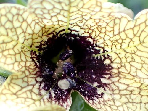 Hyoscyamus niger