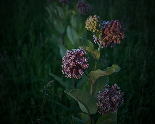 milkweeds, at dusk, 7-11-19