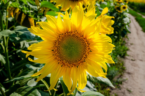 Ripening of a sunflower in ribbon time