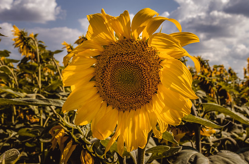 The sunflower in a field surrounded by sunflowers